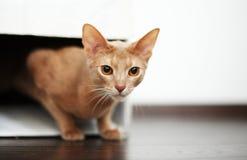 Портрет красного играя кота Стоковое Изображение RF