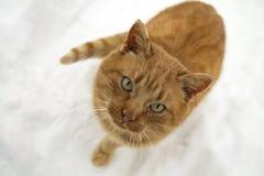 Портрет красного кота в зиме Стоковые Фото