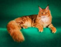 портрет красного кота енота Мейна на зеленой предпосылке Стоковые Изображения RF