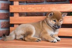 Портрет красного пушистого щенка inu shiba стоковые изображения