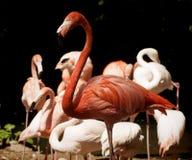 Портрет красного фламинго стоящий Стоковое Фото