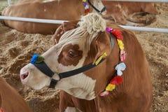 Портрет красного цвета и коровы motley в уздечке Стоковое фото RF