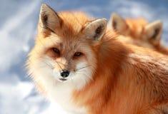 портрет красной лисы Стоковое фото RF
