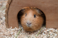 Портрет красной морской свинки в ее деревянном доме Стоковая Фотография RF