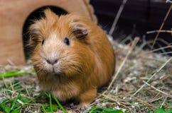 Портрет красной морской свинки Стоковое Фото