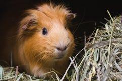 Портрет красной морской свинки Стоковое фото RF