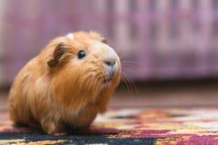 Портрет красной морской свинки Стоковое Изображение RF