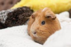 Портрет красной морской свинки Стоковые Изображения