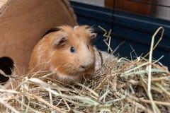 Портрет красной морской свинки Стоковое Изображение