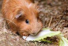 Портрет красной морской свинки Стоковая Фотография