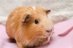 Портрет красной морской свинки Стоковые Фото