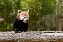 Портрет красной панды Стоковые Изображения