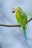 Портрет красно--breasted длиннохвостого попугая Стоковое Изображение