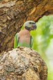 Портрет красно--breasted длиннохвостого попугая Стоковые Фото