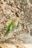 Портрет красно--breasted длиннохвостого попугая Стоковое Фото