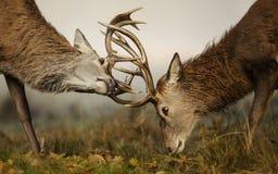 Портрет красных оленей с кроной папоротников Стоковые Фото