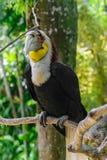 Портрет красочного мужчины wreathed птица птицы-носорог сидя на ветви в тропическом лесе стоковые изображения rf