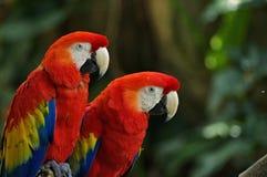 Портрет красочного попугая ары шарлаха пар против предпосылки джунглей стоковое фото
