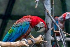 Портрет красочного попугая ары шарлаха против деревянного branche Стоковое фото RF