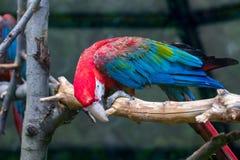 Портрет красочного попугая ары шарлаха против деревянного branche Стоковое Изображение