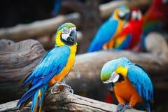 Портрет красочного попугая ары шарлаха Стоковое Фото