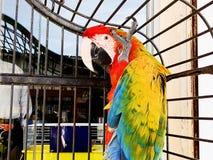 Портрет красочного ara попугая шарлаха против джунглей Взгляд со стороны головы одичалого попугая ары в клетке Стоковые Изображения RF