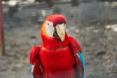 Портрет красочной ары шарлаха Гайана, Южная Америка стоковое изображение rf