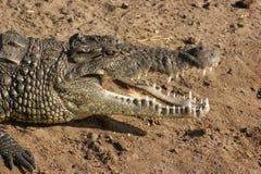 Портрет крокодила стоковая фотография