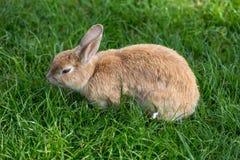 Портрет кролика в зеленой предпосылке луга стоковые изображения rf
