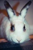 Портрет кролика Стоковое Изображение RF