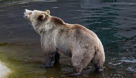 Портрет крупного плана главного взрослого бурого медведя плавая в темной воде и тряся свое тело с много брызгает стоковое изображение rf
