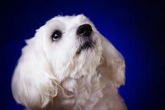 Портрет крупного плана мальтийсной собаки смотря вверх на голубой предпосылке Стоковые Фотографии RF