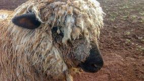 Портрет крупного плана овцы Стоковое фото RF
