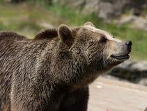 Портрет крупного плана огромного shaggy взрослого бурого медведя смотря с beringianus arctos Ursus интереса Медведь Камчатка стоковое фото rf