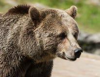 Портрет крупного плана огромного shaggy взрослого бурого медведя смотря с beringianus arctos Ursus интереса Медведь Камчатка стоковые изображения rf