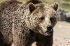 Портрет крупного плана огромного shaggy взрослого бурого медведя смотря с beringianus arctos Ursus интереса Медведь Камчатка стоковое фото