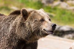Портрет крупного плана огромного shaggy взрослого бурого медведя смотря с beringianus arctos Ursus интереса Медведь Камчатка стоковые изображения