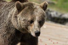 Портрет крупного плана огромного shaggy взрослого бурого медведя смотря с beringianus arctos Ursus интереса Медведь Камчатка стоковая фотография rf