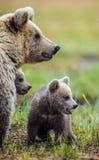 Портрет крупного плана Она-медведя и Cubs Ursus Arctos Arctos бурого медведя на болоте в лесе естественном зеленом Backgro лета Стоковая Фотография