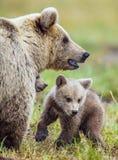 Портрет крупного плана Она-медведя и Cubs Ursus Arctos Arctos бурого медведя на болоте в лесе естественном зеленом Backgro лета Стоковое фото RF