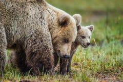 Портрет крупного плана Она-медведя и Cubs Ursus Arctos Arctos бурого медведя на болоте в лесе естественном зеленом Backgro лета Стоковые Фото