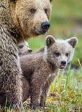 Портрет крупного плана Она-медведя и Cubs Ursus Arctos Arctos бурого медведя на болоте в лесе естественном зеленом Backgro лета Стоковое Изображение