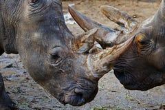 Портрет крупного плана 2 белых Rhinos Стоковые Изображения RF