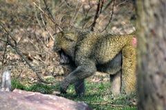 Портрет крупного плана Anubis Papio обезьяны павиана стоковое изображение rf