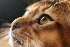 Портрет крупного плана абиссинского котенка с фокусом на глазе стоковое фото rf