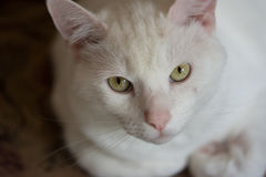 Портрет крупного плана белого кота стоковая фотография