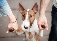Портрет крупного плана быка породы собаки Стоковые Изображения