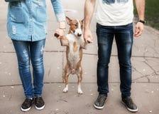 Портрет крупного плана быка породы собаки Стоковые Изображения RF