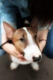 Портрет крупного плана быка породы собаки Стоковая Фотография RF