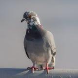 Портрет крупного плана голубя Стоковое Изображение